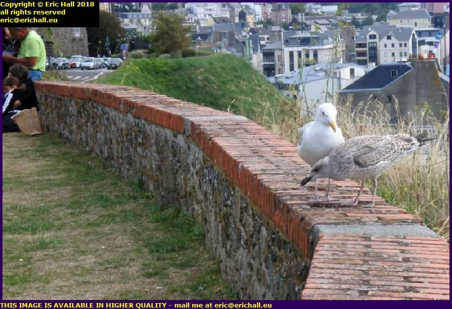 seagulls goelands granville manche normandy france